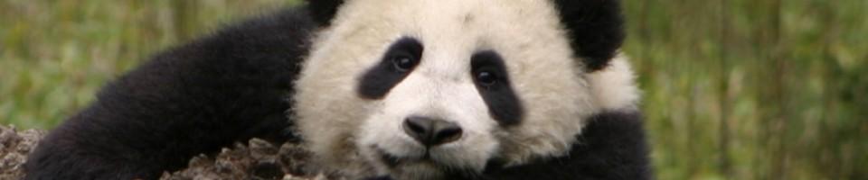 Panda Cubb